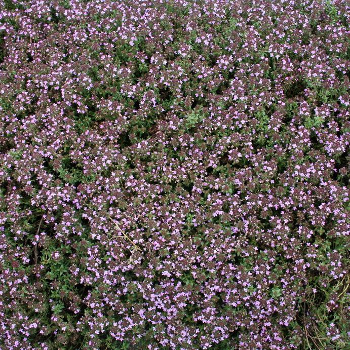 Thym de Corse ou Thym cumin (Thymus herba-barona)