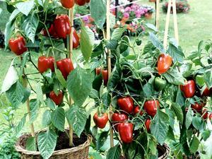 Semis et plantation du piment
