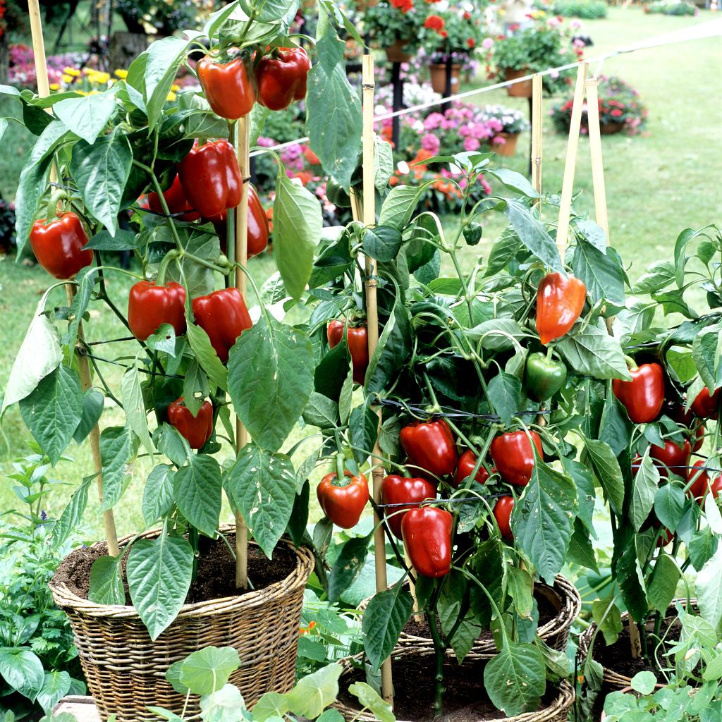 Piment planter et cultiver ooreka - Comment planter des poivrons ...