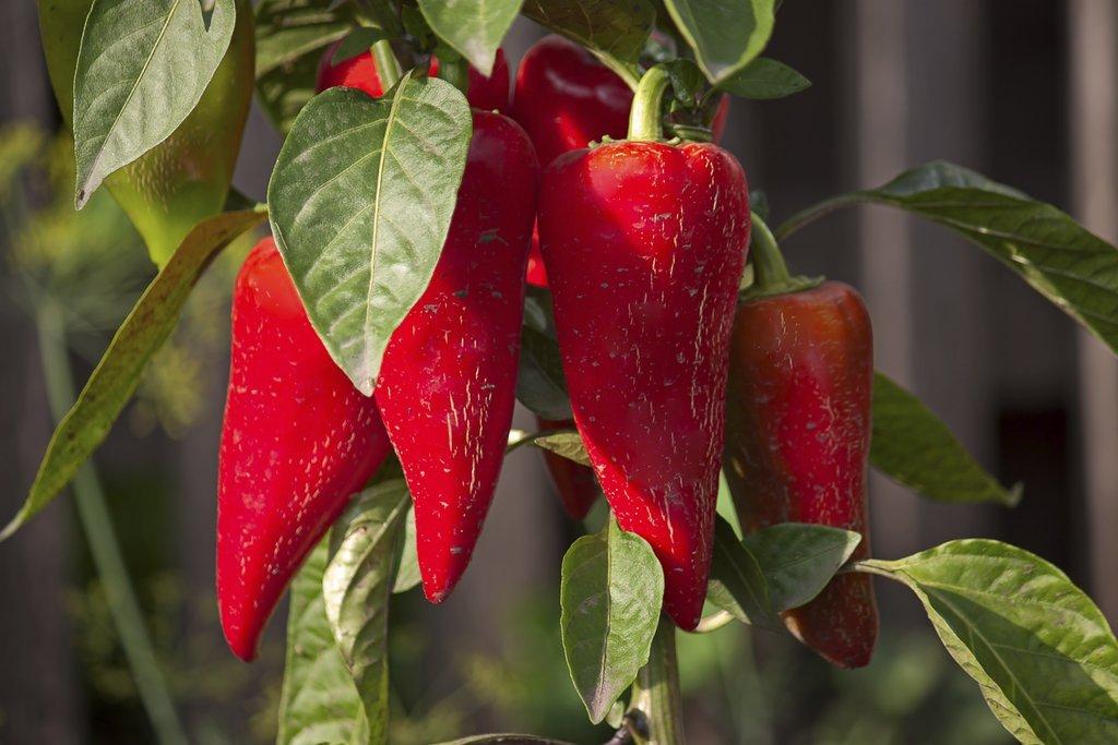 Piment planter et cultiver ooreka - Quand planter les poivrons ...