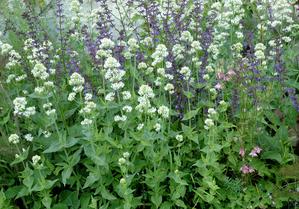 Semis et plantation du lilas d'Espagne