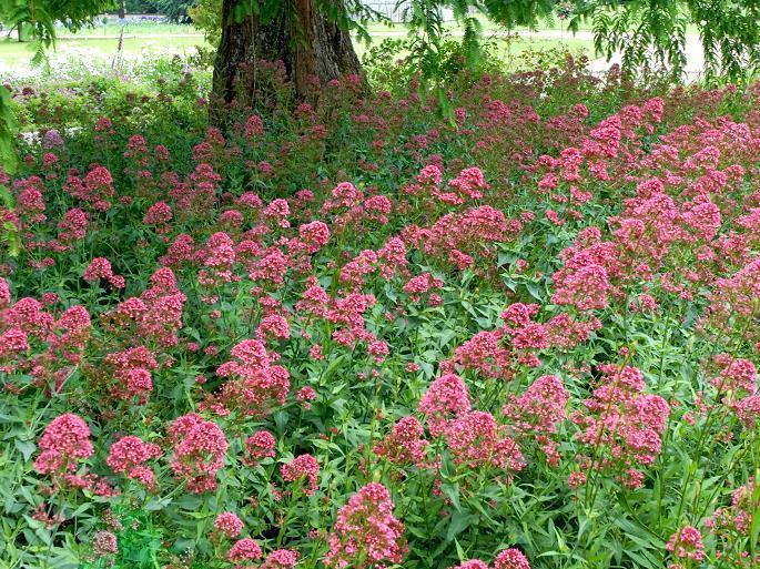 lilas d'espagne : planter et tailler – ooreka