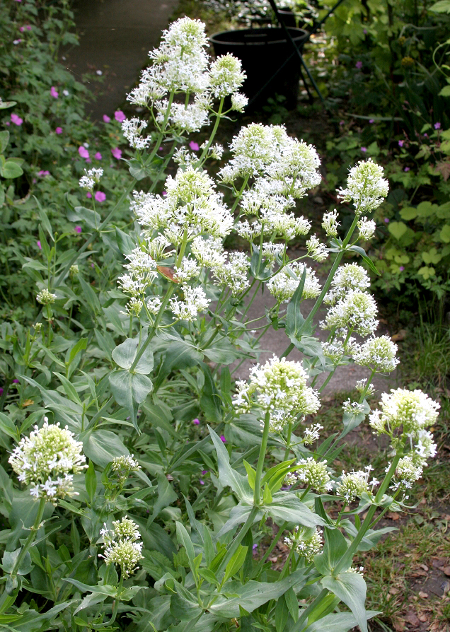Lilas d espagne planter et tailler ooreka for Vivace floraison hivernale