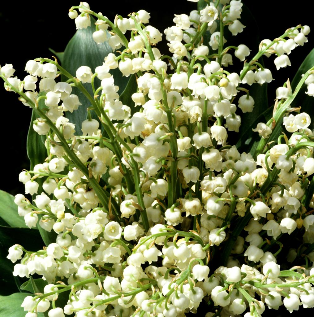 Muguet Planter Et Cultiver Ooreka