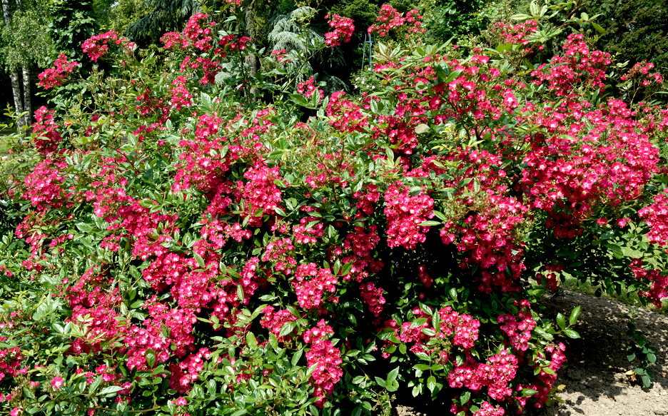 Rosier arbuste : planter et cultiver - Ooreka