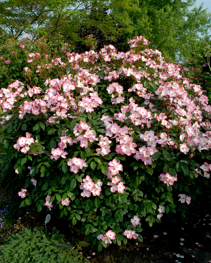 Rosier arbuste planter et cultiver ooreka - Taille rosier buisson ...