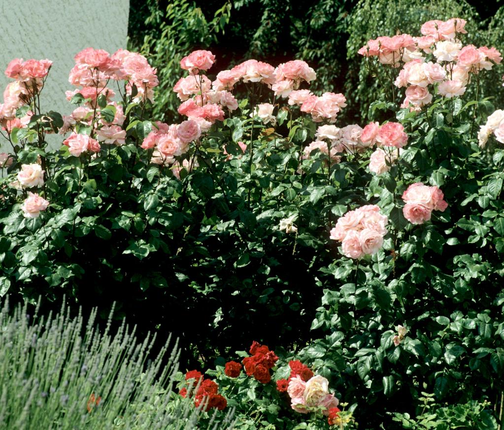 rosier arbuste planter et cultiver ooreka. Black Bedroom Furniture Sets. Home Design Ideas