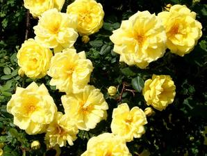 Plantation du rosier arbuste
