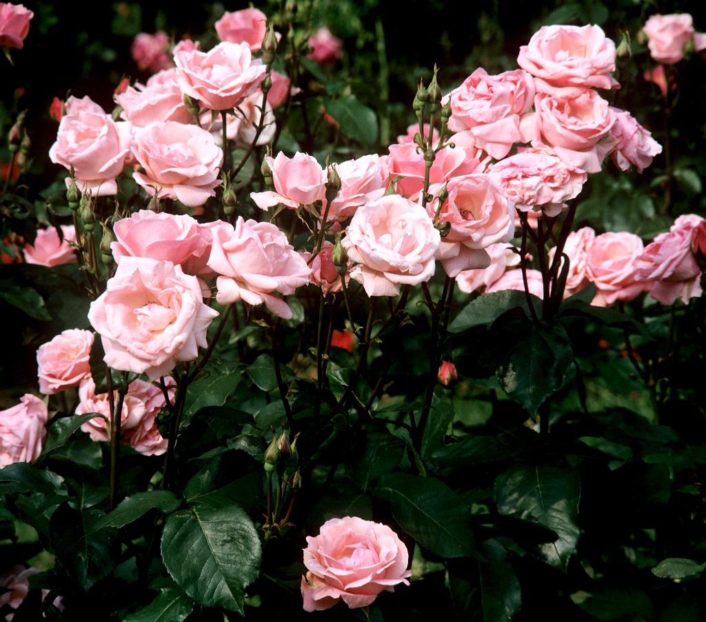 Rosier arbuste planter et cultiver ooreka - Planter des roses tremieres ...