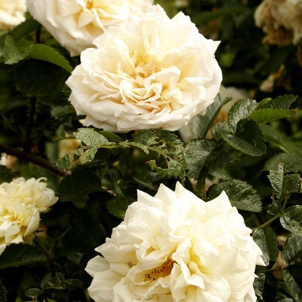 Rosier arbuste planter et cultiver ooreka - Quand planter un rosier ...