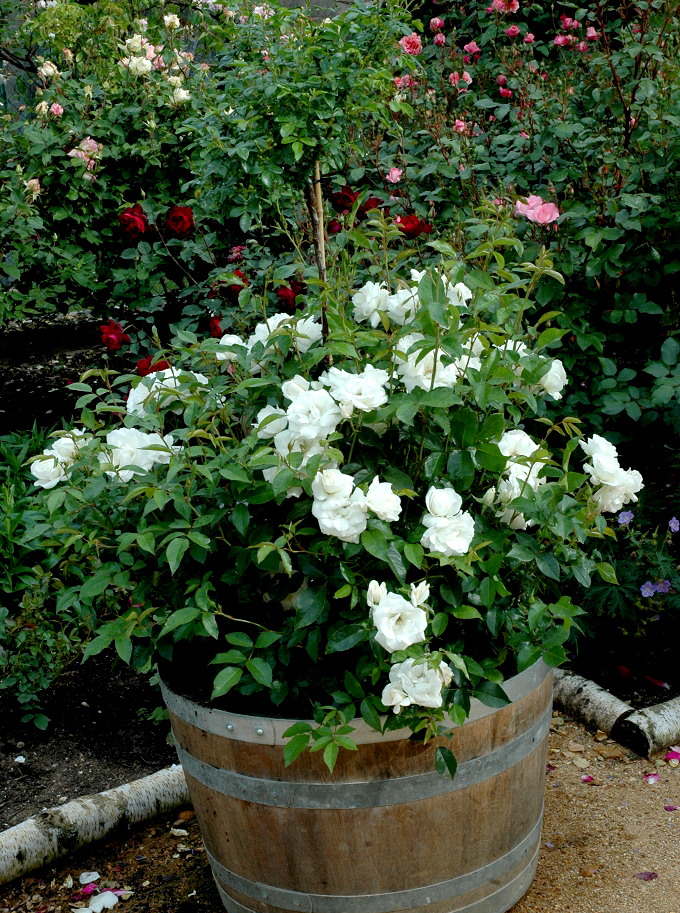 Rosier buisson planter et tailler ooreka - Mini rosier en pot ...