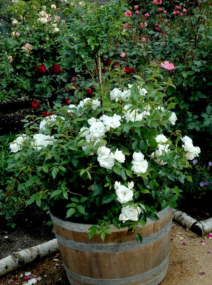 Rosier buisson planter et tailler ooreka - Rosier en pot soleil ...