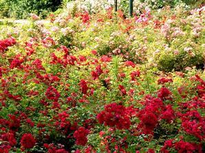 Culture et entretien du rosier buisson