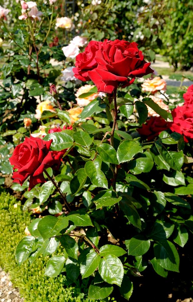 Rosier buisson : planter et tailler - Ooreka