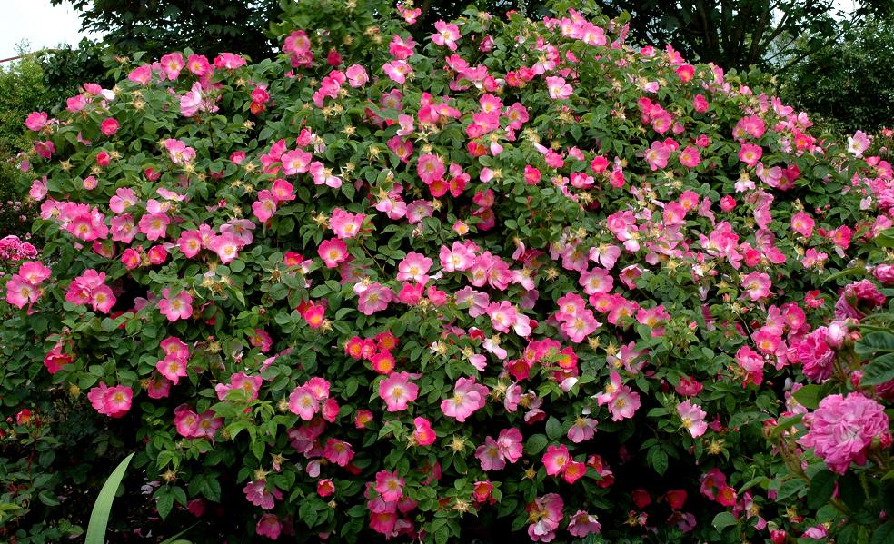 rosier buisson   planter et tailler  u2013 ooreka