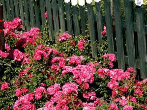 Plantation du rosier buisson