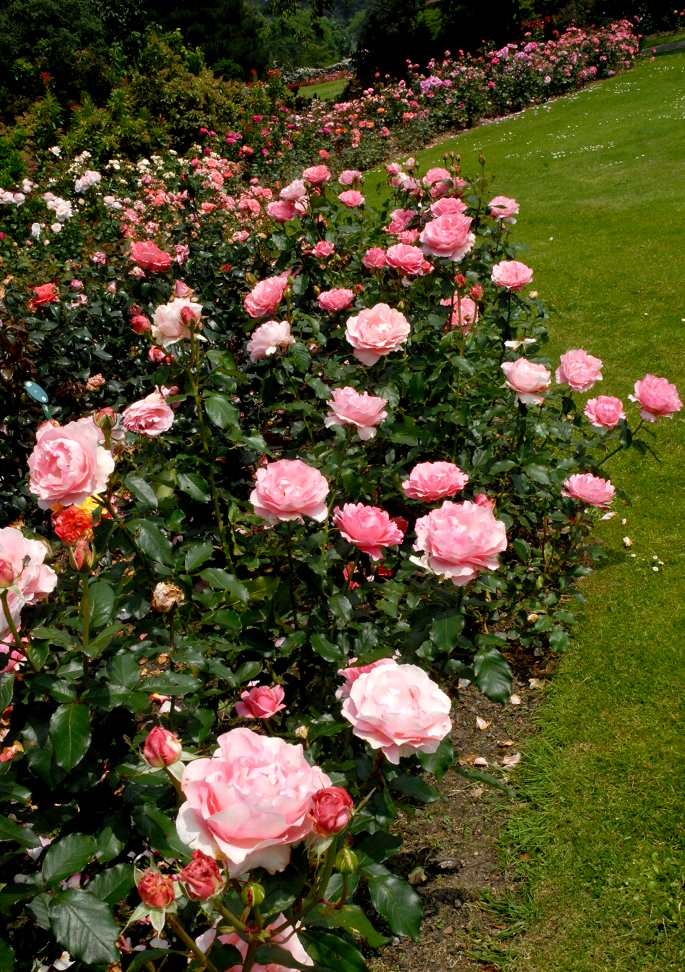 Rosier buisson planter et tailler ooreka - Tailler un rosier grimpant ...