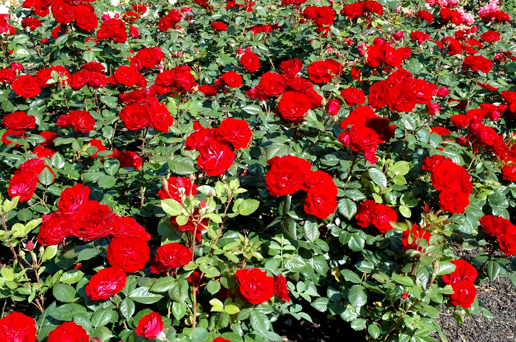 Rosier buisson planter et tailler ooreka - Quand couper les rosiers ...