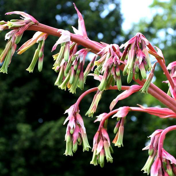 Lis du Mexique Beschorneria yuccoides