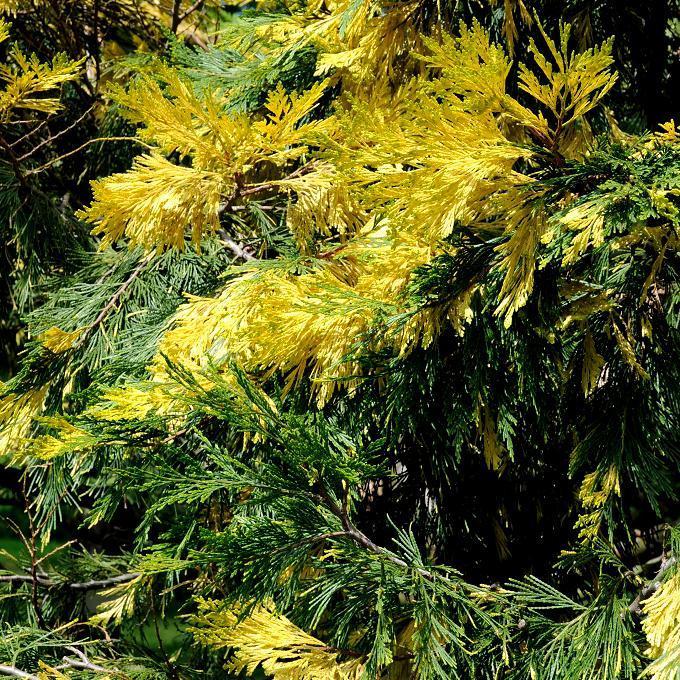 Cultivars 'Aureovariegata'