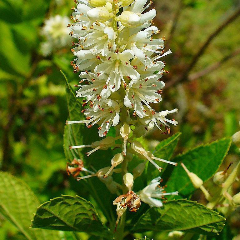 Clèthre à feuilles d'aulne Clethra alnifolia (Espèce type)