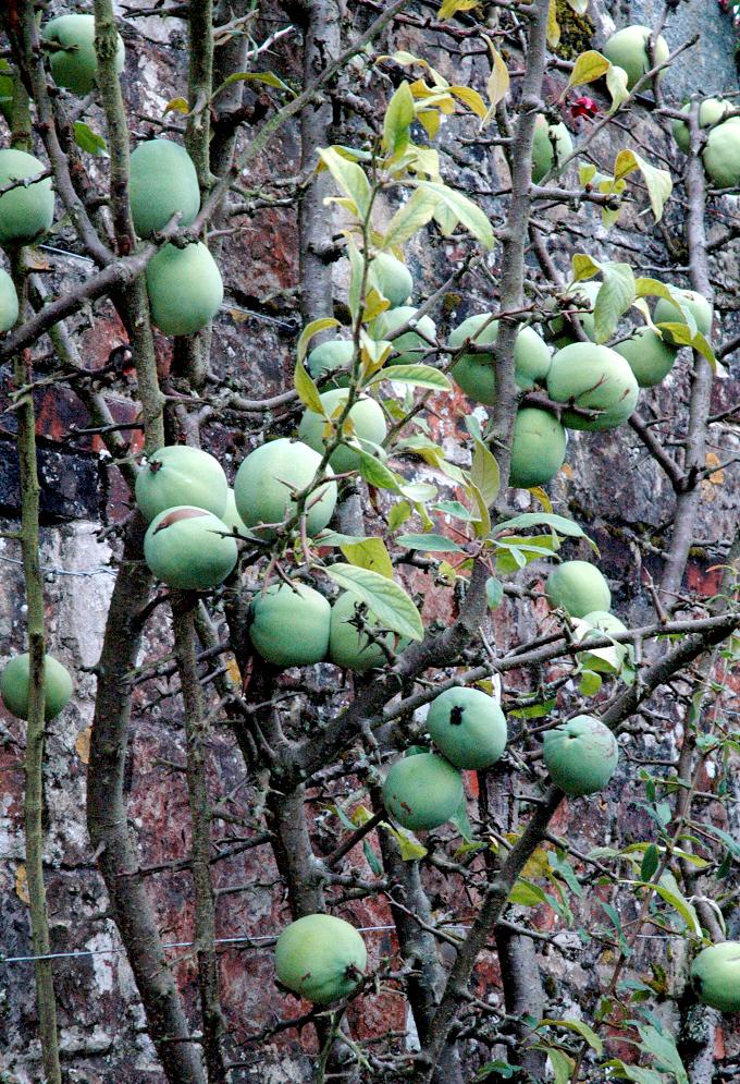 Cognassier du japon planter et tailler ooreka - Confiture de nefles du japon ...