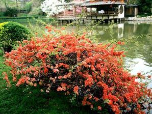 Semis et plantation du cognassier du Japon