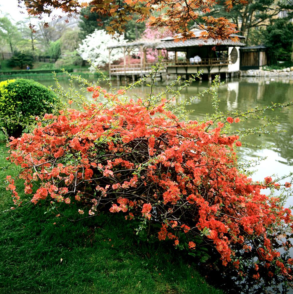 Cognassier du japon planter et tailler ooreka - Pommier du japon toxique ...