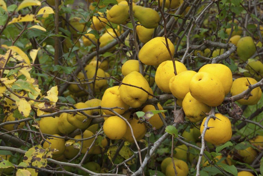 cognassier du japon : planter et tailler – ooreka