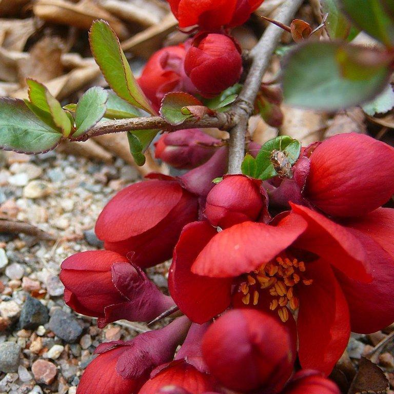 Cultivars érigés Chaenomeles speciosa HOT FIRE® 'Minvesu'