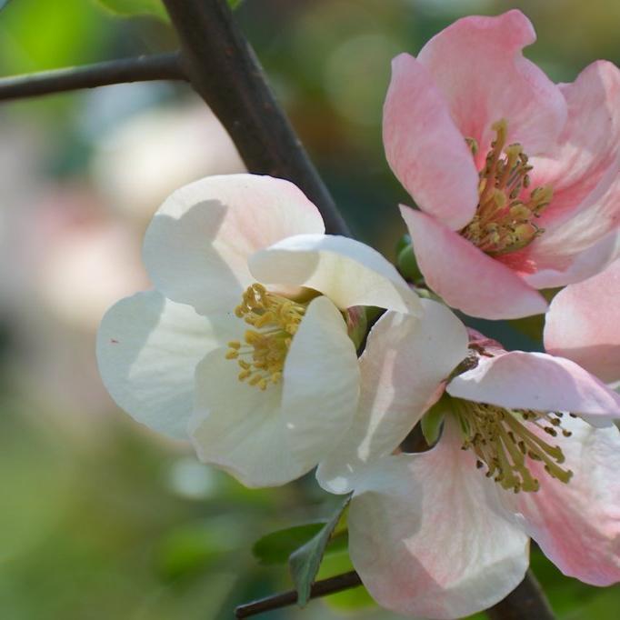 Cultivars érigés Chaenomeles x superba 'Flocon Rose'