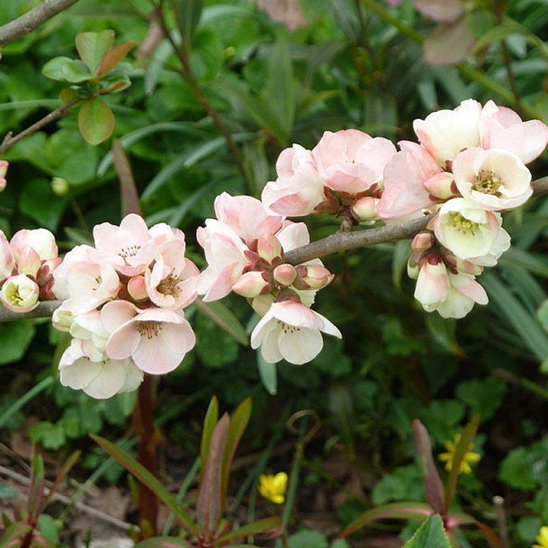 Cultivars érigés Chaenomeles speciosa 'Apple Blossom' (syn. 'Moerloosii')