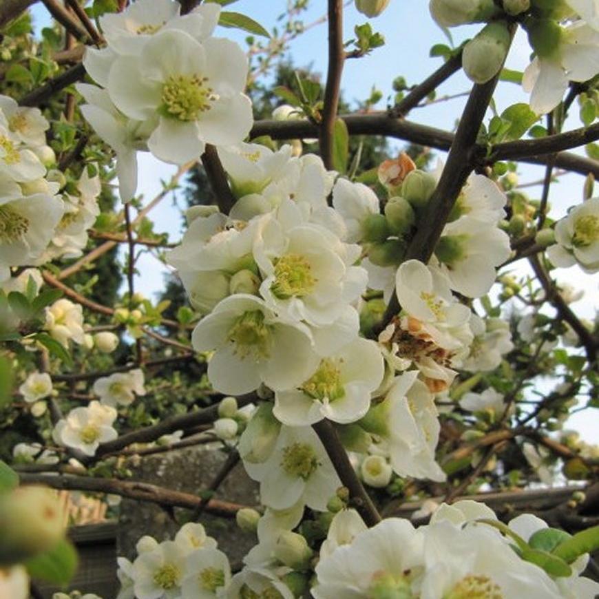 Cultivars érigés Chaenomeles speciosa 'Nivalis'