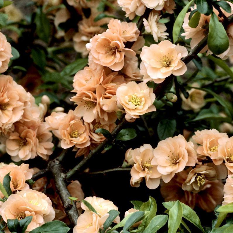 Cultivars érigés Chaenomeles speciosa 'Falconnet Charlet'