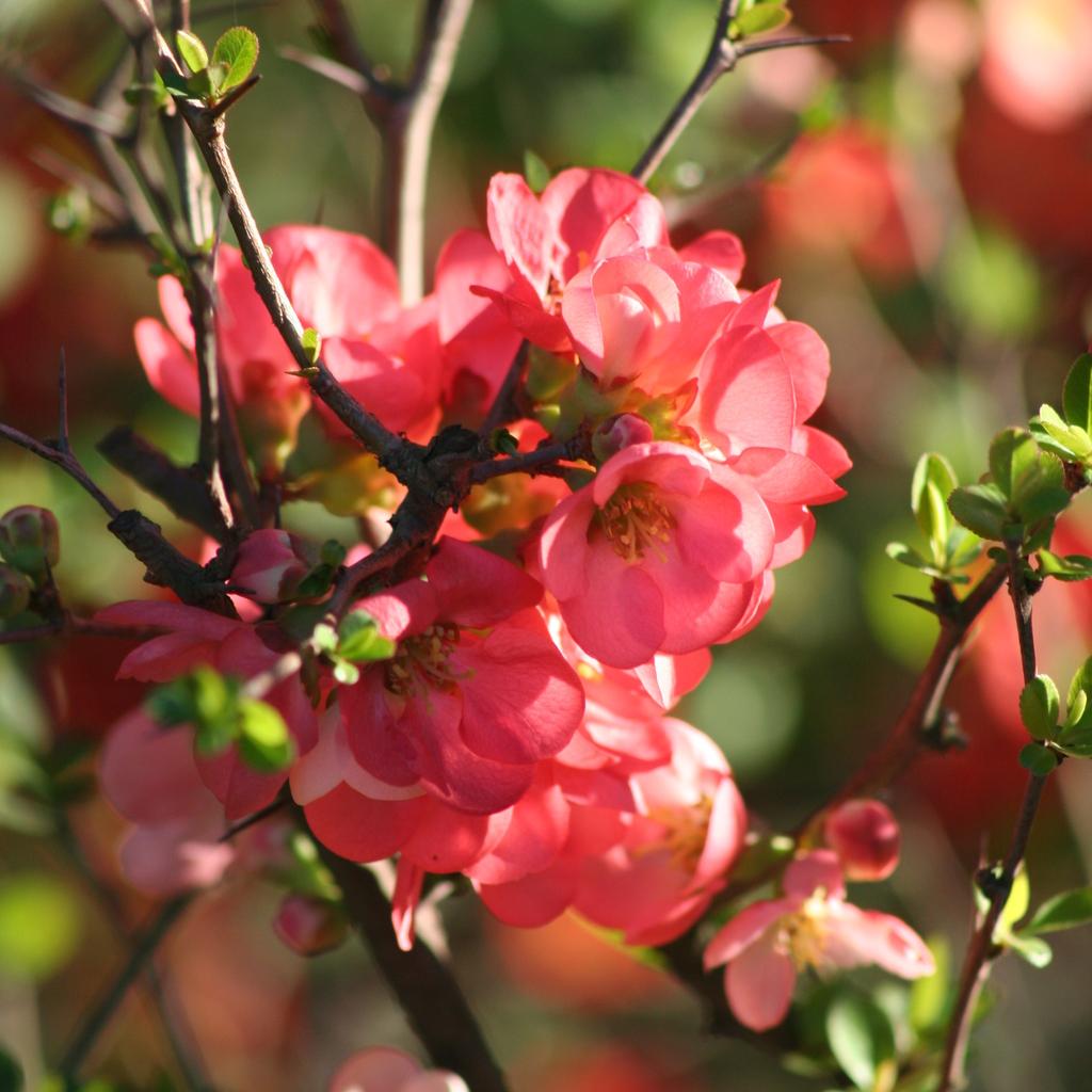 Cultivars érigés Chaenomeles x superba 'Ernst Finken'