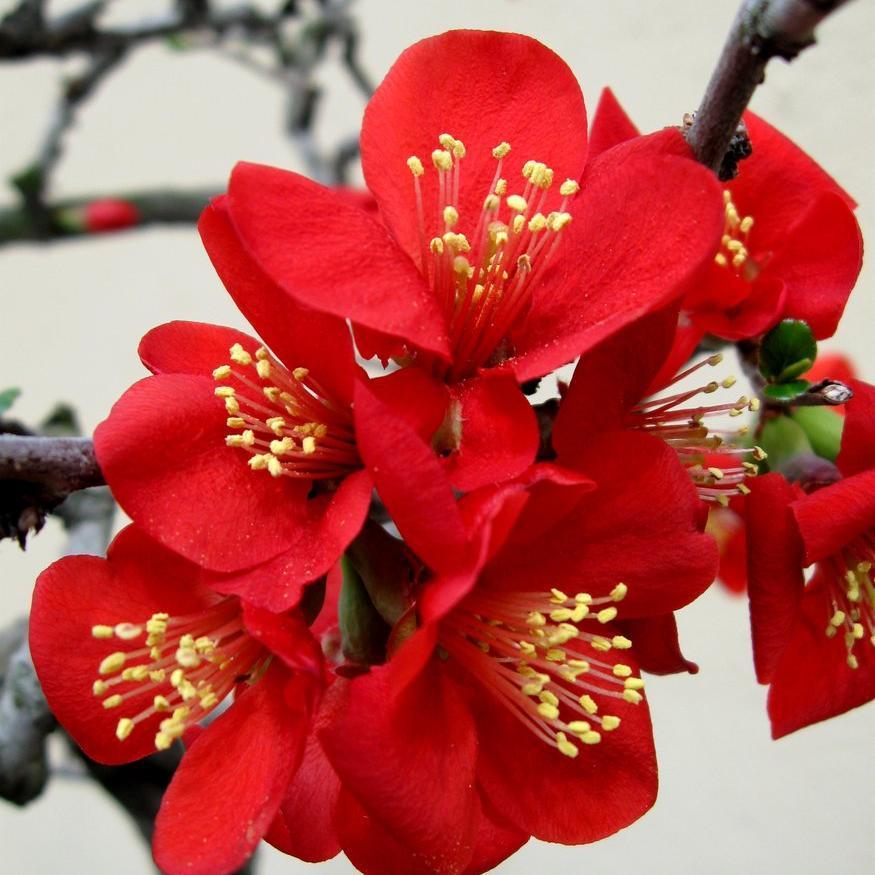 Cultivars à petit développement Chaenomeles x superba 'Etna'