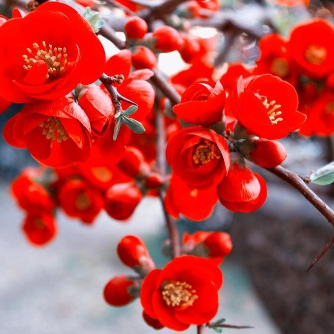Cultivars à petit développement Chaenomeles x superba 'Red Joy'