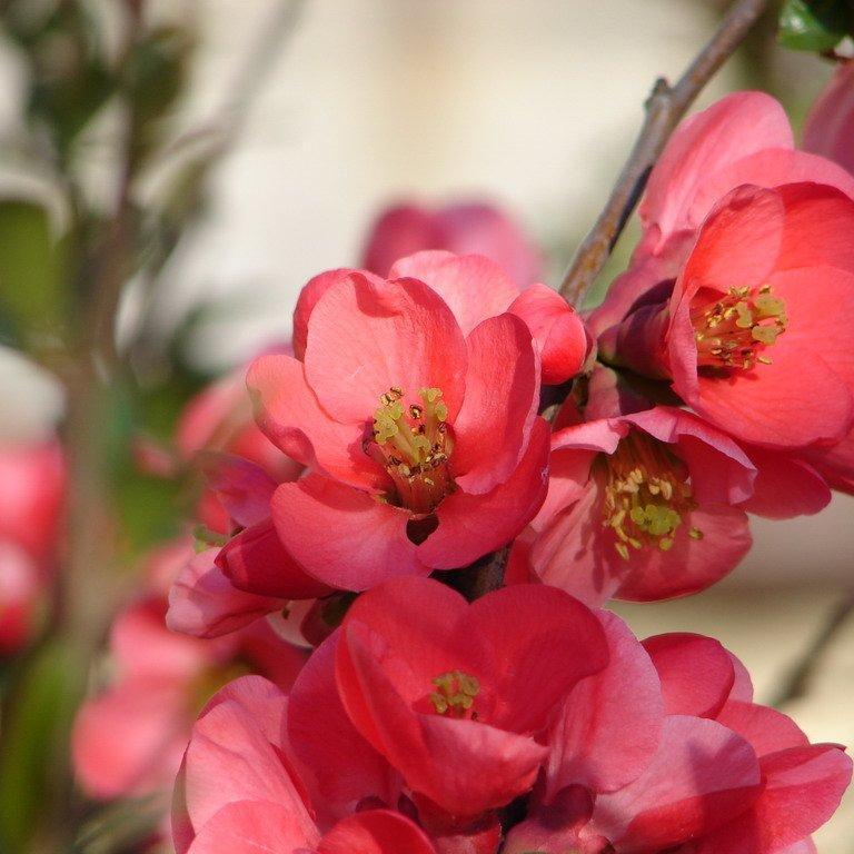 Cultivars érigés Chaenomeles speciosa 'Eximia'