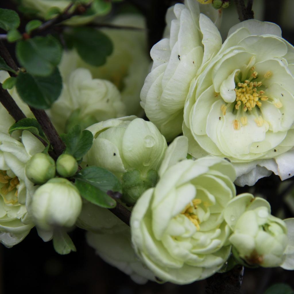 Cultivars érigés Chaenomeles speciosa 'Kinshiden'