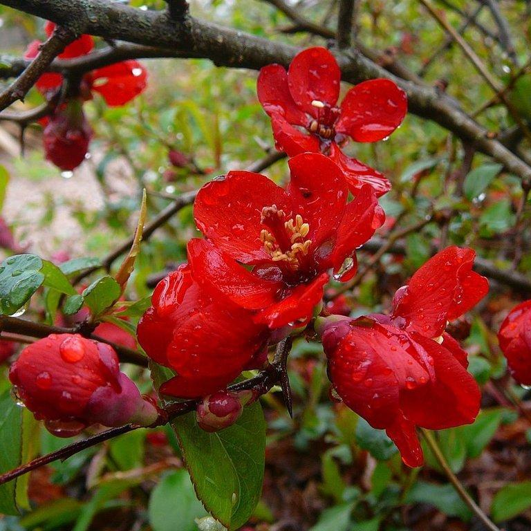 Cultivars à petit développement Chaenomeles x superba 'Elly Mossel'