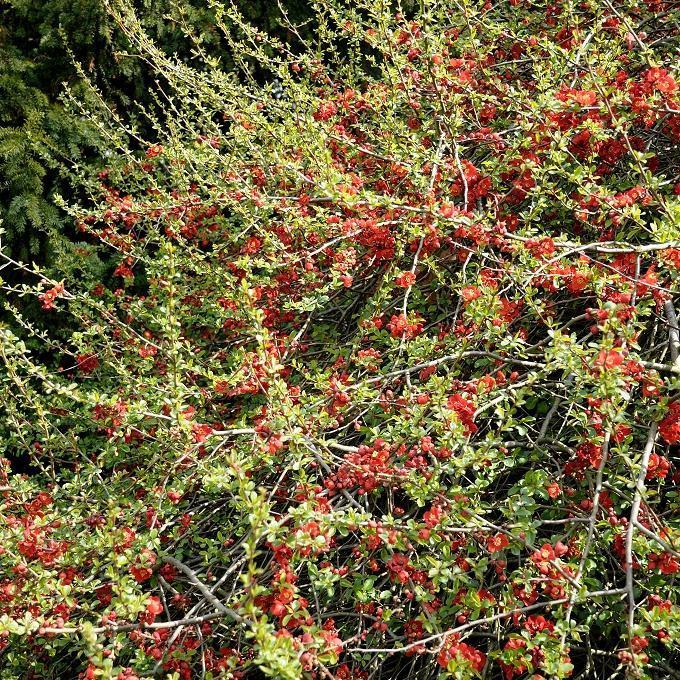 Cultivars à petit développement Chaenomeles x superba 'Crimson and Gold'
