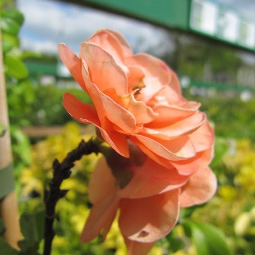 Cultivars à petit développement Chaenomeles x superba 'Cameo'