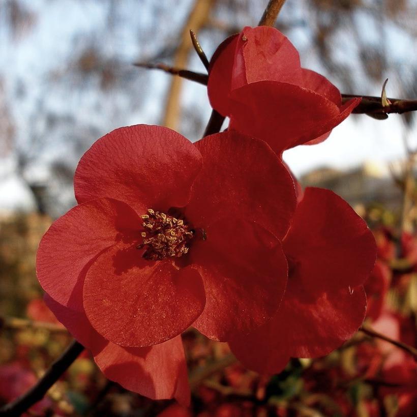 Espèces types Cognassier à fleurs (Chaenomeles speciosa)