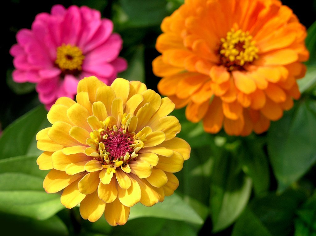 Zinnia : semer et planter - Ooreka