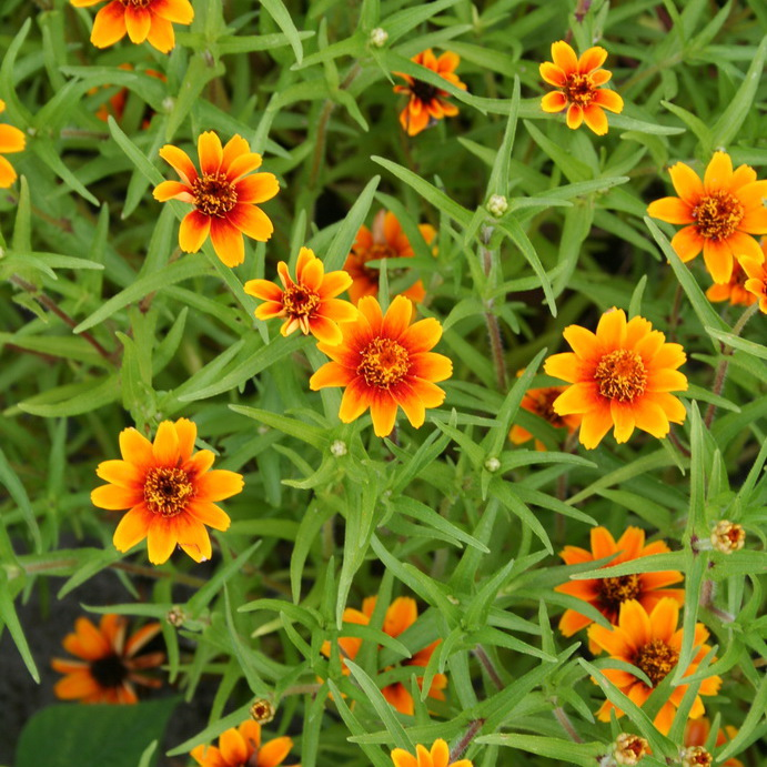 Zinnias nains Zinnia du Mexique (Zinnia haageana)