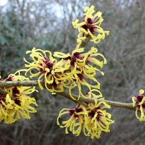 Cultivars les plus courants Hamamelis x intermedia 'Primavera'