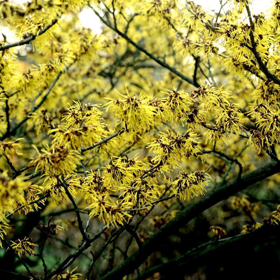 Cultivars les plus courants Hamamelis x intermedia 'Arnold Promise'