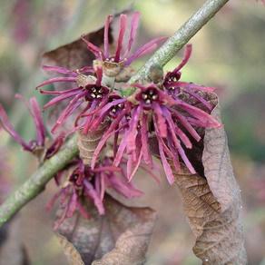 Autres espèces et cultivars Hamamelis vernalis 'Amethyst'