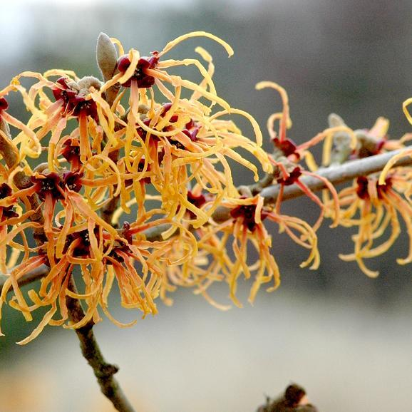 Cultivars les plus courants Hamamelis x intermedia 'Jelena' (syn. 'Copper Beauty')