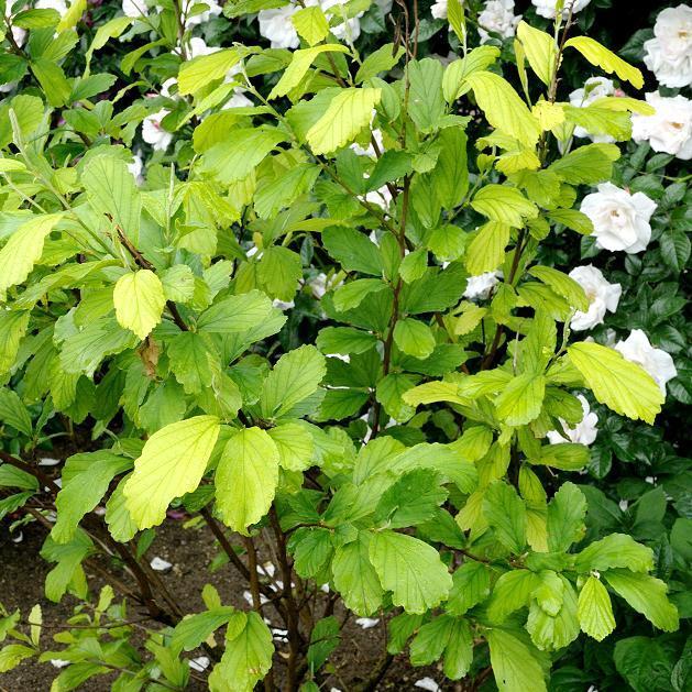 Autres espèces et cultivars Hamamélis de Virginie, café du diable (Hamamelis virginiana)